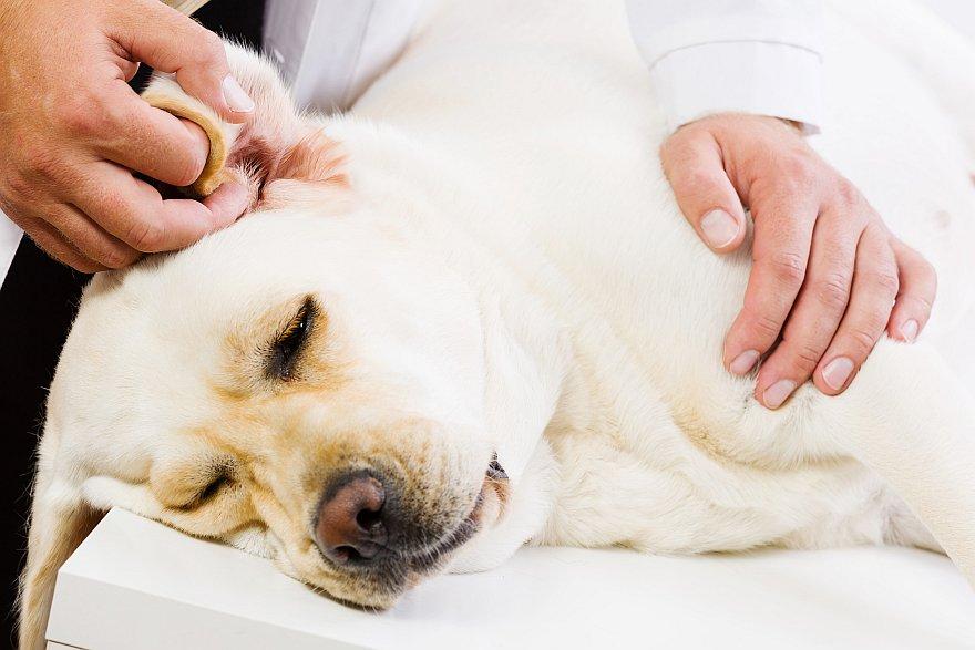 Labrador wird behandelt