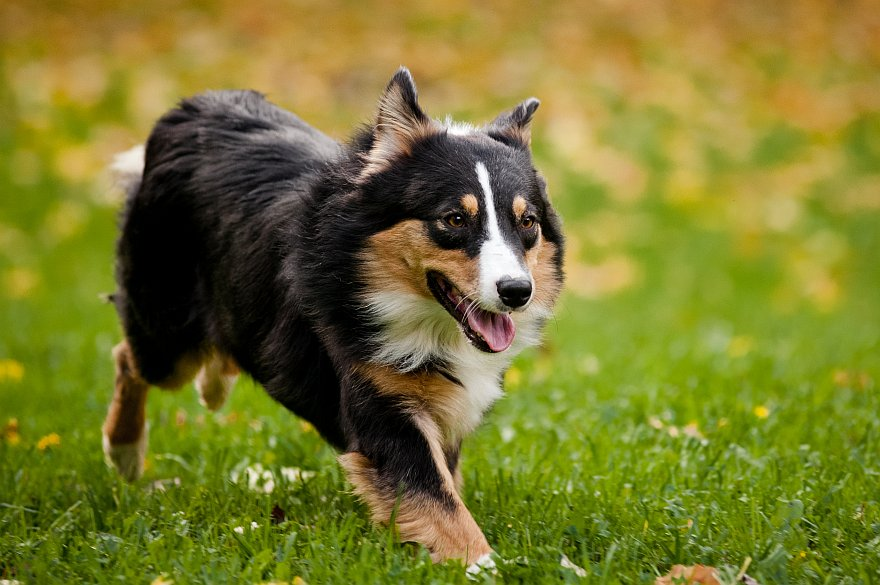 Australian Shepherd Dogs For Sale