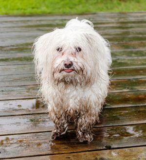 Nasser Hund mit Matsch im Fell
